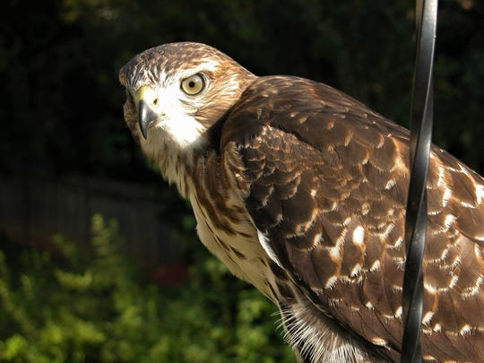 A red-tailed hawk shown on the deck of a West Knox County home.