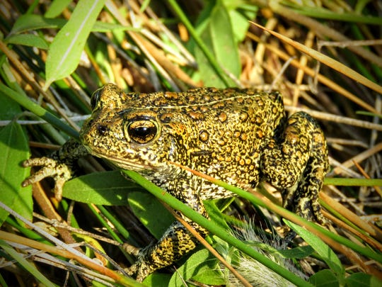 A proposed geothermal project 43 miles northeast of Fallon could be harmful to the rare Dixie Valley toad.