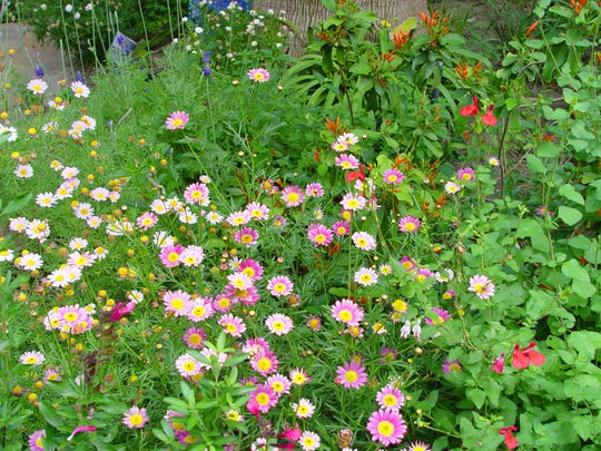 Lots of different small daisies planted into sparse Autumn sage covers spaces between plants for a lush cottage garden.