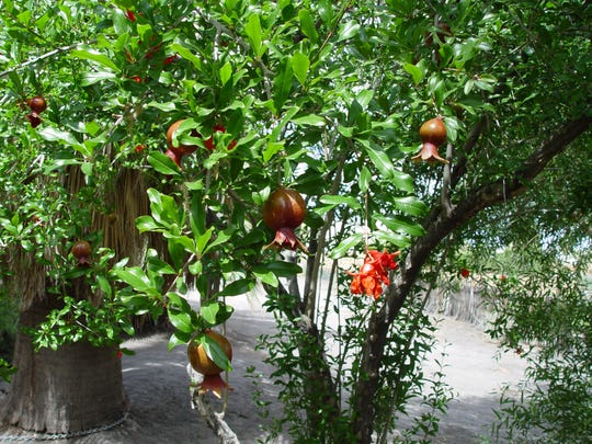 Prune your pomegranate to one or two trunks to create