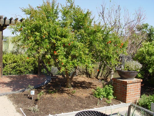 This mature pomegranate tree shows how well they adapt