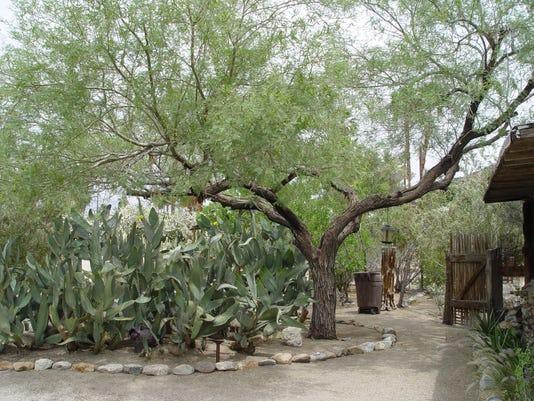 636426336004234895-Desert-tree.JPG