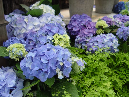 Potted blue flowered hydrangea is a large flower appealing
