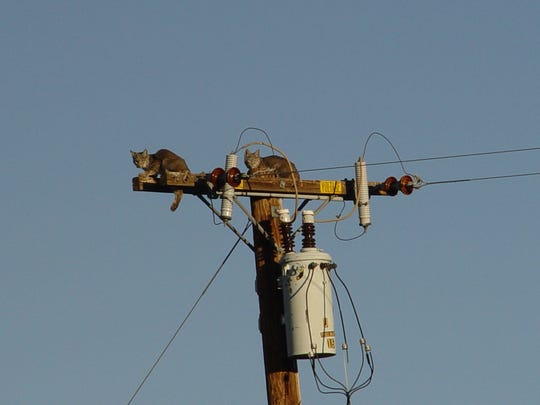 These two baby bobcats atop a power pole demonstrates how easy it is for predators to scale a six foot wall as adults.