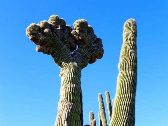 This rare double crested saguaro is along the Coyote