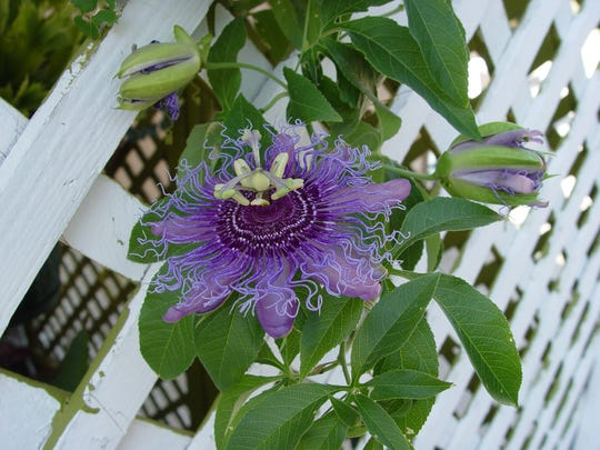 As a larval food plant, passionflower vines are decimated