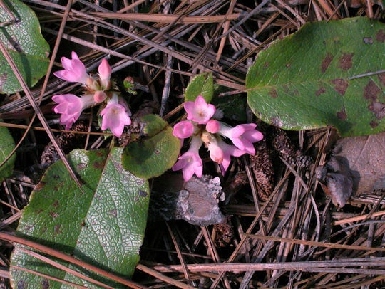 Trailing arbutus  is a low, evergreen plant, technically