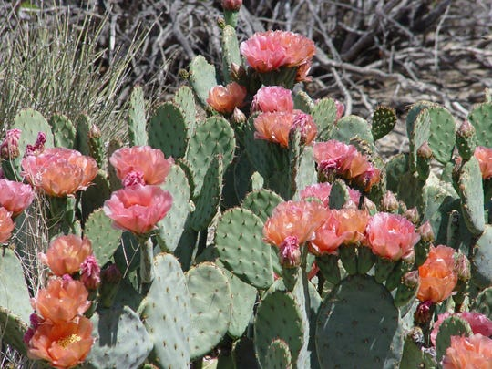 This peachy colored Opuntia groundcover is ubiquitous in the garden so it blooms all over each spring.