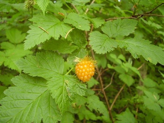 Salmonberry's large, deep-pink flowers turn to tart