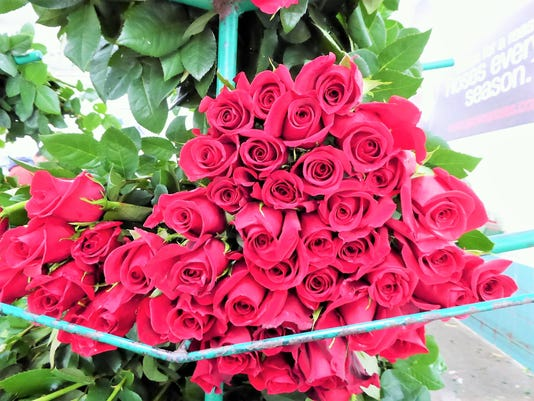 636607812265727919-1-Red-roses-gathered-at-Jaroma-Rose-Farm-in-Columbia.-Photo-Harriet-Baskas.JPG