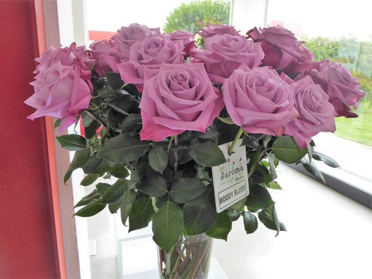 'Moody Blues' roses grown at Jaroma Farms in Colombia.
