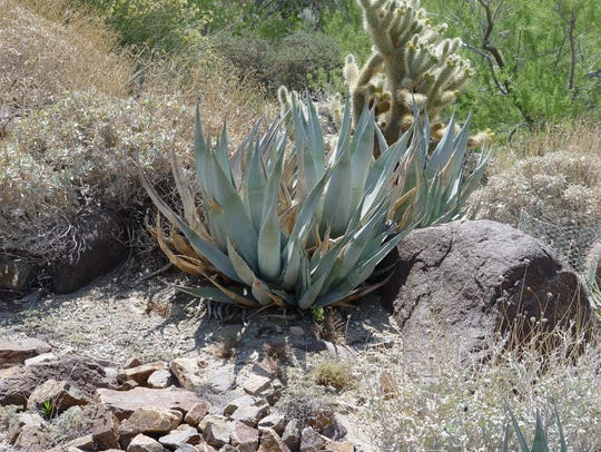 At The Living Desert, Agave deserti is planted among