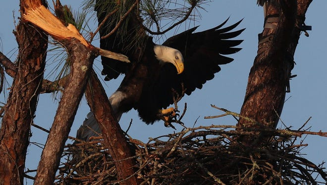 Harriet and M15 were seen Sept. 22, 2017, bringing nesting material to the nest. The first eaglet hatched Tuesday, Dec. 26, 2017.