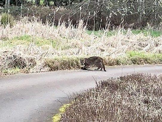 Cougar oregon city