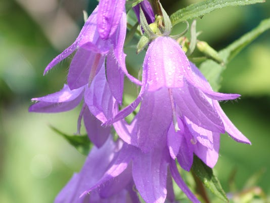 Bellflower, Creeping (Campanula rapunculoides