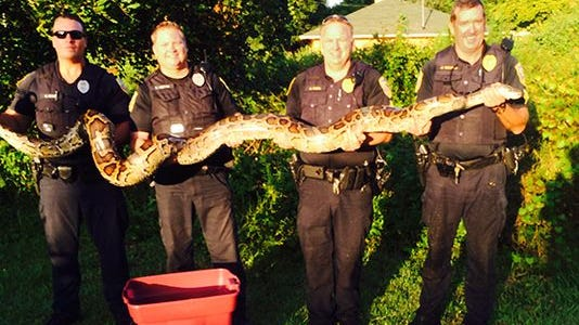 Police officers hold a captured 12-foot python in Florida.