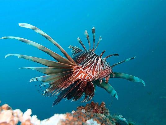 635614889700568797-lionfish-2-
