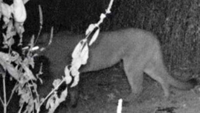 This image of a cougar was captured on a trail cam in Obion County on Sept. 20, 2015, according to the TWRA.
