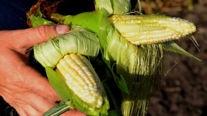 """A close up of two of the varieties of sweet corn the Reese's are growing on their in DeWitt Township. Wednesday, July 22, 2015, was """"opening day"""" for the family's sweet corn operation."""