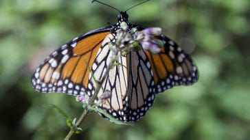 Monarch butterfly numbers drop by 27% in Mexico
