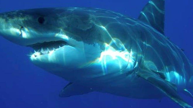 Maneater sharks are found in the Gulf of Maine, but, according to marine biologist Ellen Goethel, have never been spotted off Hampton Beach.