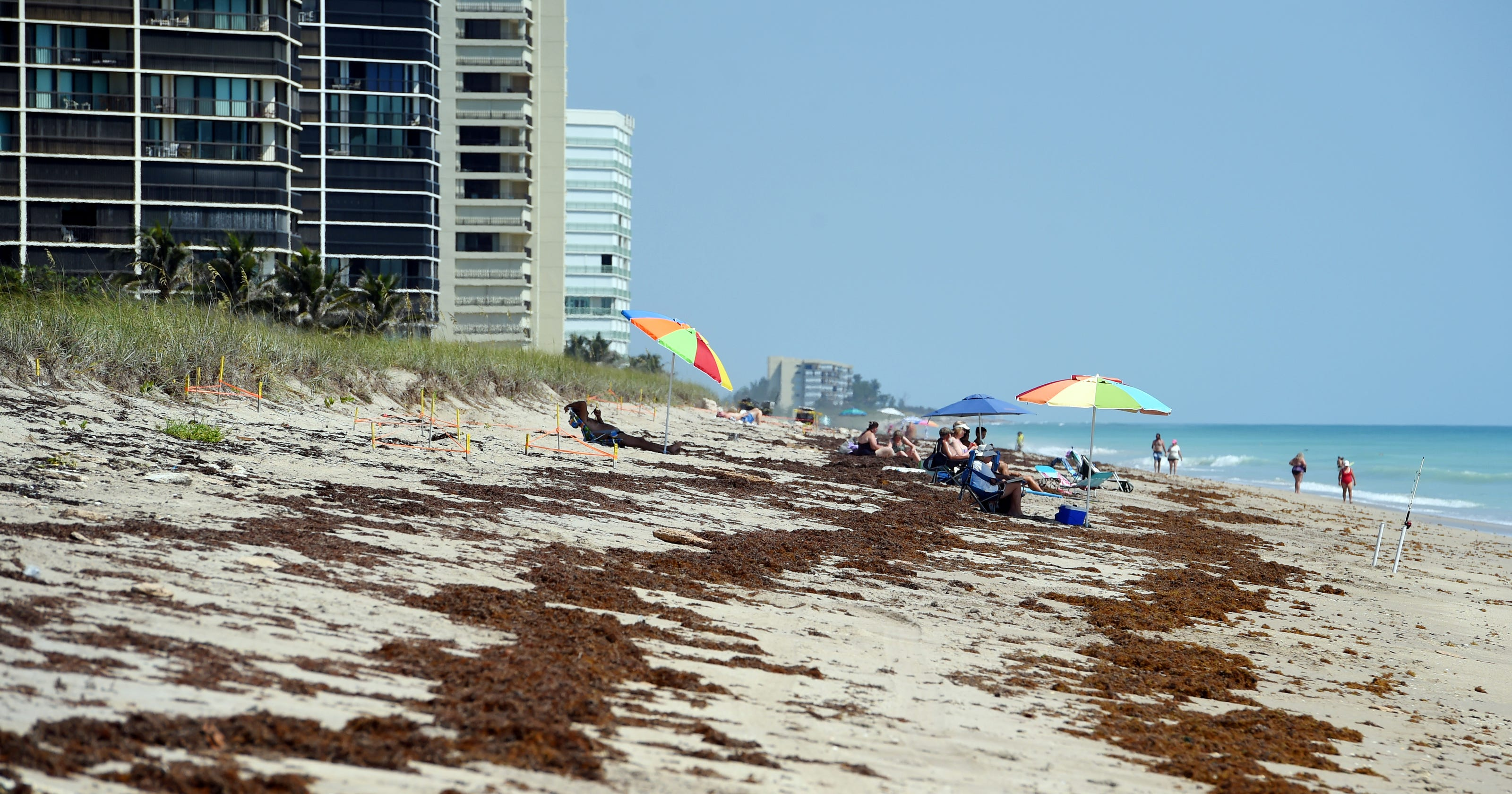 Sargussum seaweed piling up on Florida beaches could set record