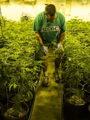 Jimmy Brown employee of Mohave Green's Choice Cannabis checks an watering marijuana plant at their indoor grow operation, located at undisclosed location in Mohave Valley a spans 14,000 square feet across two levels. He also has rooms for trimming, harvesting and packaging. He said his operation can produce about 2,500 pounds each year. Jimmy Brown