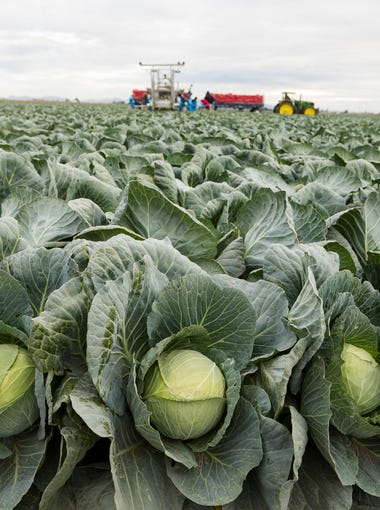 Farm workers harvest cabbage at Amigo Farms in Yuma, Ariz. Greens harvested from fields can reach a consumer's plate in 24 hours -- a timeframe that may astonish those outside the agriculture industry.