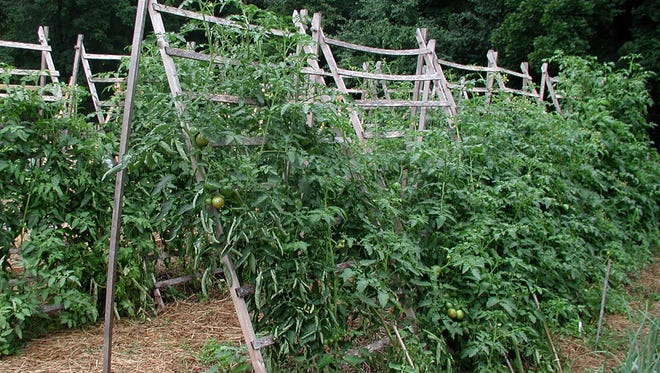 Tomatoes are happy to sprawl but getting the plants up off the ground — here, on a trellis — results in cleaner fruit and less hazard for diseases in Poughkeepsie, N.Y. on May 17, 2015.