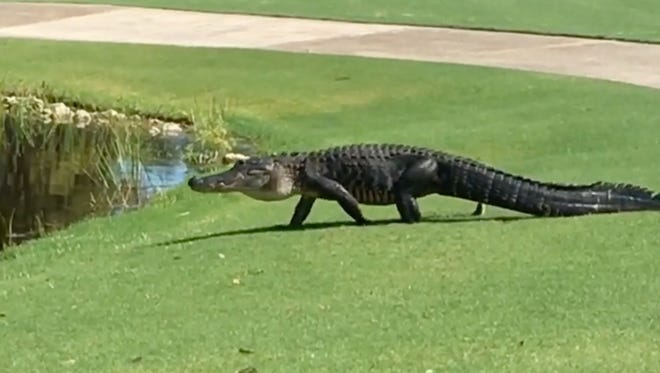 Anthony Master shared a video of an alligator strolling around a golf course in Estero on Saturday, Sept. 3, 2016.