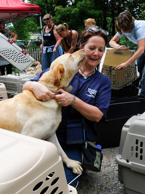 A dog licks the face of volunteer Deb Loring while she assembled animal crates as the Humane Society and the Vermont State Police investigate allegations of a Bakersfield puppy mill in 2011. Some 54 dogs were seized.