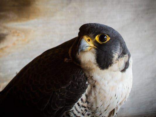 636600907202314705-peregrine-falcon-at-ku-ghent-april-10-2014-16.jpg