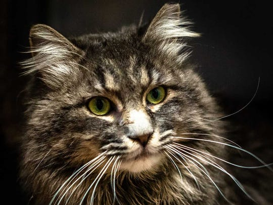 Squirt - Male (neutered) domestic long hair, adult.