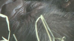 Video: Knoxville Zoo welcomes baby gorilla