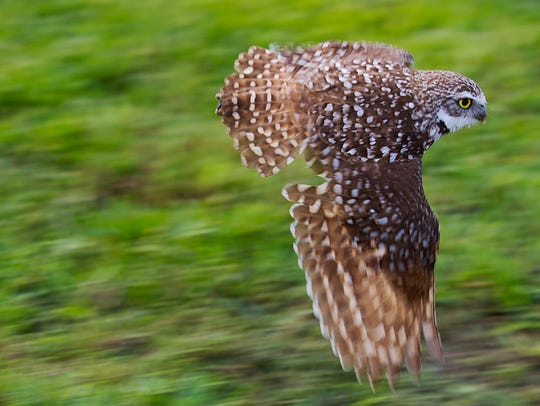 A burrowing owl flies over its burrow in Cape Coral as it keeps an eye out for predators.