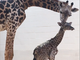 Cece, a five-year-old giraffe at the Cincinnati Zoo, gave birth to a calf Wednesday morning.