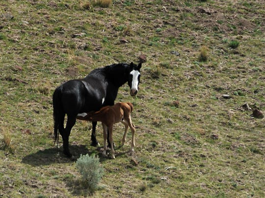 Domestic tribal horses are seen grazing illegally in the Santa Rosa Mountains near the Fort McDermitt Paiute Shoshone Reservation in Northern Nevada on March 30, 2015.