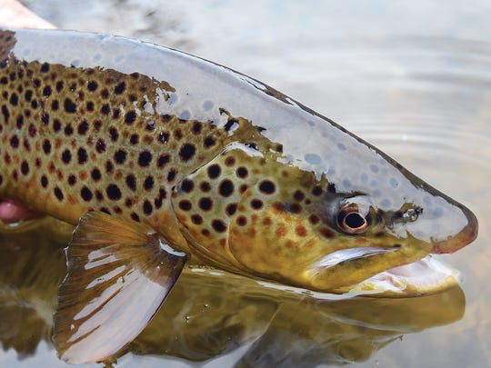 World-class brown trout are the signature fish for both the White and North Fork rivers.