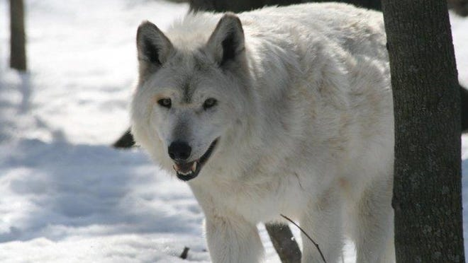 Nelson, the Wildwood Zoo's gray wolf.