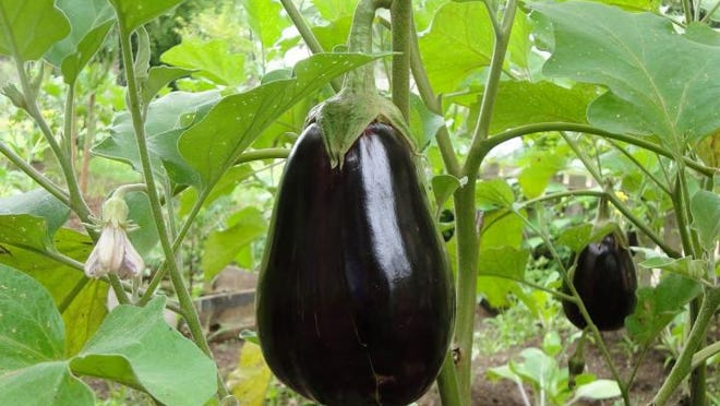 Eggplant requires full sun; warm, well-drained, loamy soil; and a moderate amount of fertilizer to thrive.
