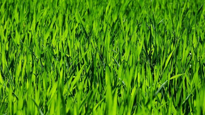 One way to maintain a healthy lawn is to mow at the proper height.