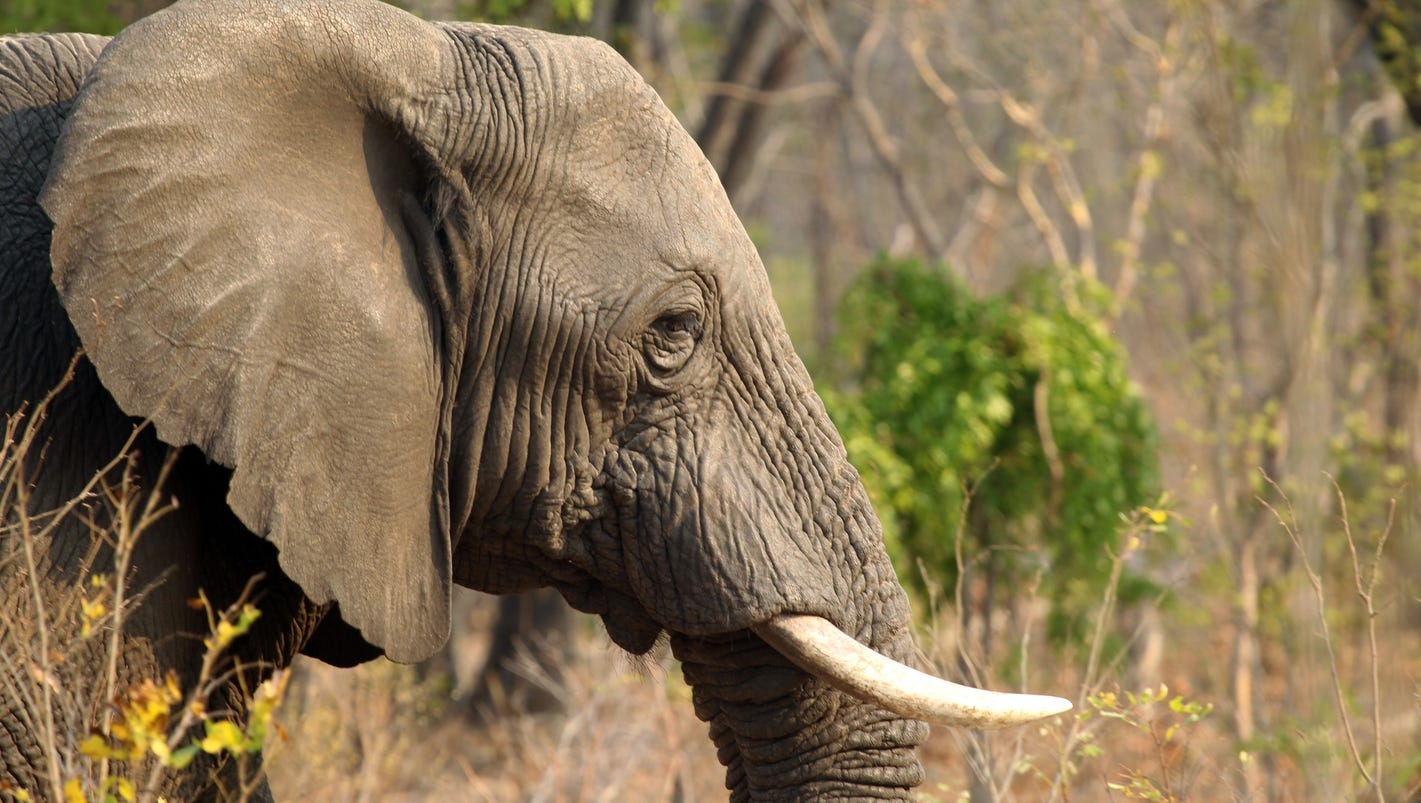 Elephant trophies: Trump administration lifts ban on ...