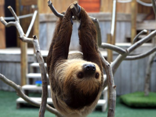 Xena the sloth is one of the newest animals at the