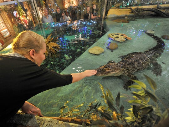 Ashlee Peoples reaches out to pet the nose of Lilly, the alligator in the tank located at Clark's Fish Camp in Jacksonville on Tuesday, Dec. 29, 2015. Peoples raised Lilly, who now resides and become a tourist attraction at the restaurant she manages.