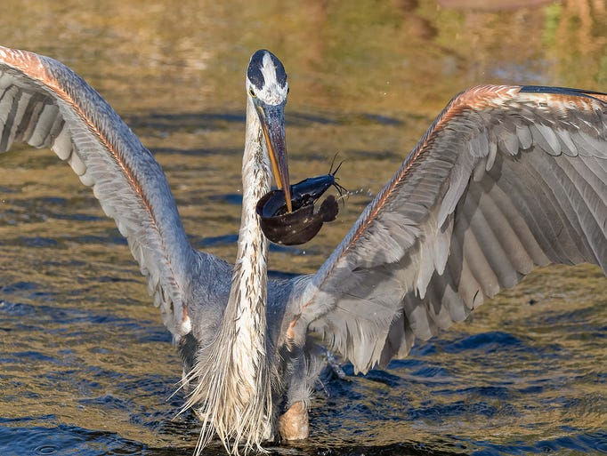 A blue heron showing off his breakfast catch at Shark