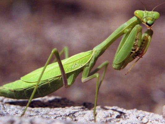 preying-mantis-green-light Jan 2013.jpg