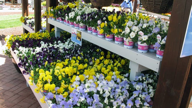 Wave Petunias at Ball Horticultural Company's spring trials are fast-spreading, easy-to-grow starter plants.