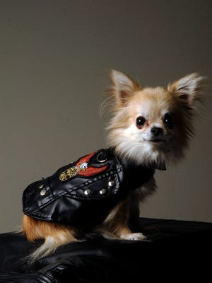 Kiki, a longhaired chihuahua, poses in a Doggie Design leather jacket $47.50  at Liv Boutique on Lexington Road.    October 16, 2015