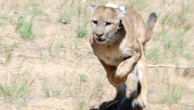 A mountain lion caught  in  Reno runs for freedom after being released in 2013.