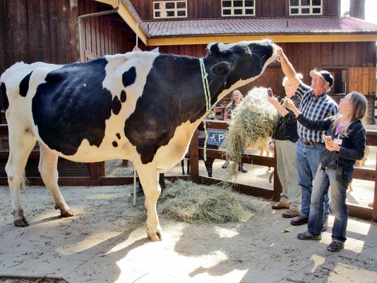 636090132852595399-Giant-Steer-May.jpg